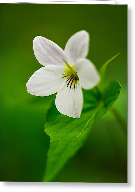 Greeting Card featuring the photograph Canada Violet Macro by Photography  By Sai