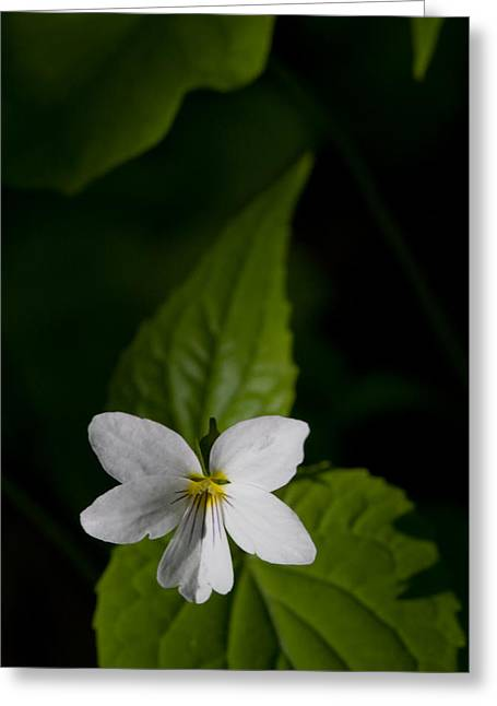 Canada Violet Greeting Card by Melinda Fawver