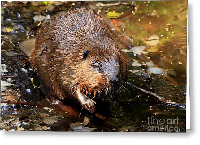 Canada's National Animal The Beaver Greeting Card