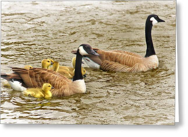 Canadian Geese And Goslings Bright Waters Greeting Card by Jennie Marie Schell