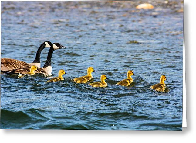 Canadian Geese And Goslings Greeting Card by Omaste Witkowski