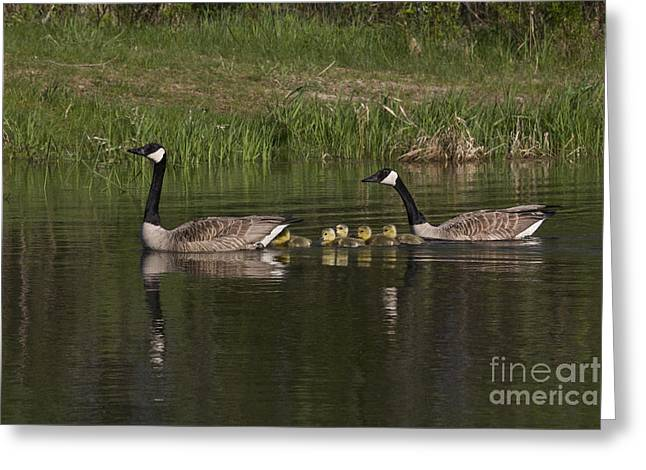 Canadian Geese Greeting Card by Linda Freshwaters Arndt