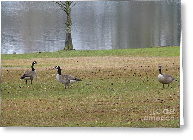 Canadian Geese Tourists Greeting Card by Joseph Baril