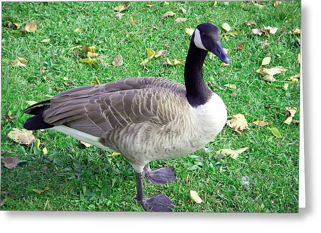 Canadian Goose Greeting Card by Aimee L Maher Photography and Art Visit ALMGallerydotcom