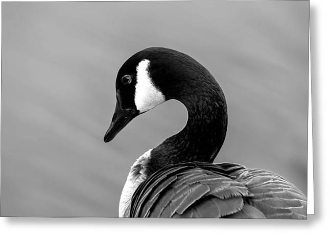 Greeting Card featuring the photograph Canadian Goose In Black And White by Frank Bright