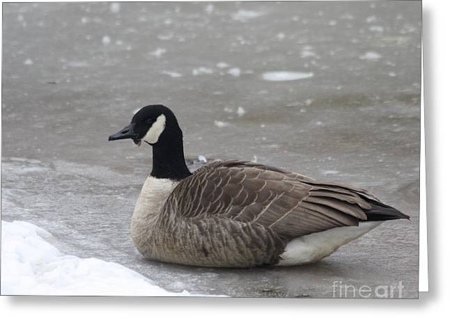 Canadian Goose In Winter Time In Manhassett Park Greeting Card by John Telfer