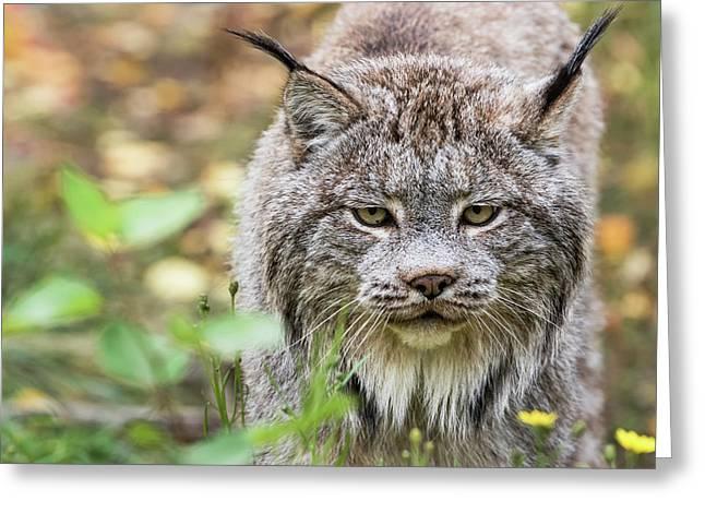 Canadian Lynx  Lynx Canadensis  Walking Greeting Card