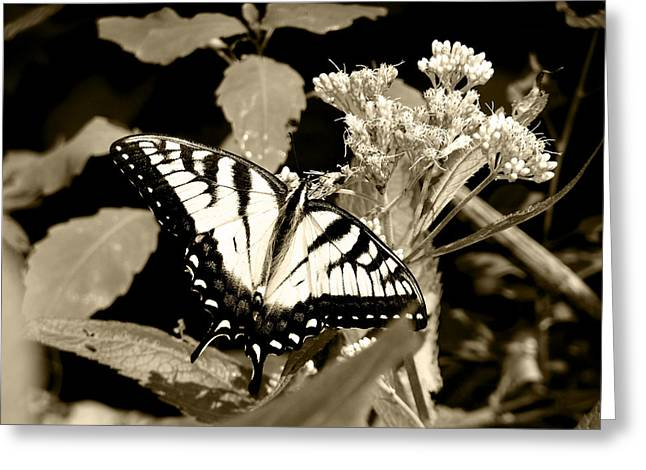 Canadian Tiger Swallowtail In Sepia Greeting Card