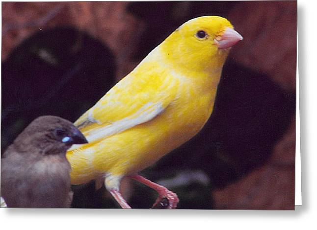 Canary And Finch Greeting Card