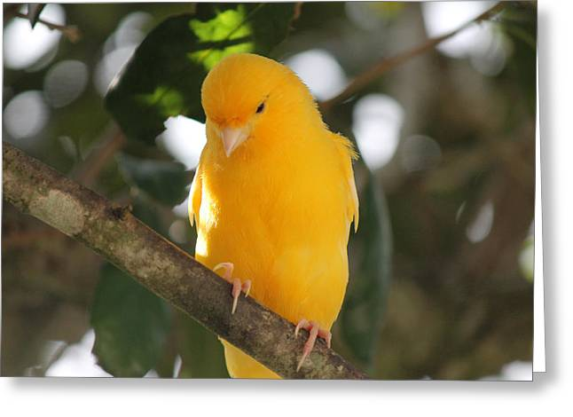 Canary Yellow Beauty Greeting Card