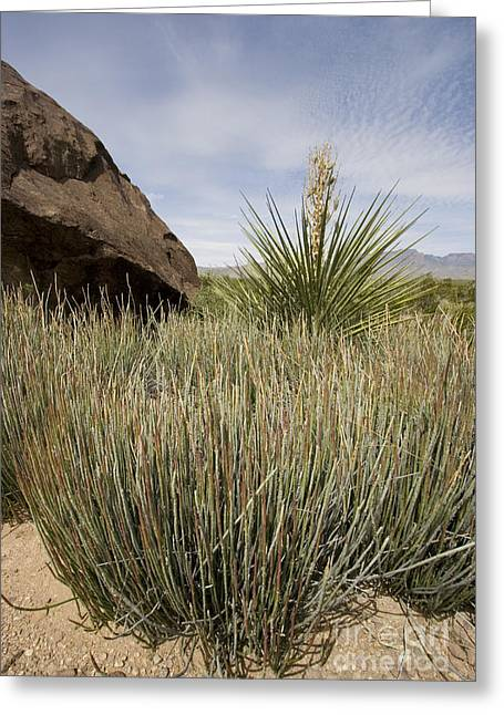 Candelilla In The Chihuahuan Desert Greeting Card by Greg Dimijian