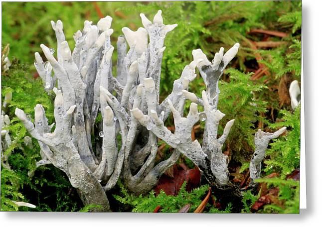 Candlesnuff Fungus Greeting Card