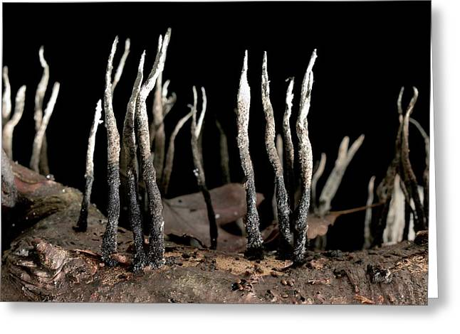 Candlesnuff Fungus (xylaria Hypoxylon) Greeting Card by Dr Jeremy Burgess