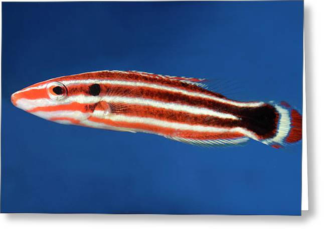Candy Cane Hogfish Greeting Card
