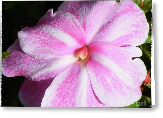 Candy Cane Impatiens Greeting Card by Barbara Griffin