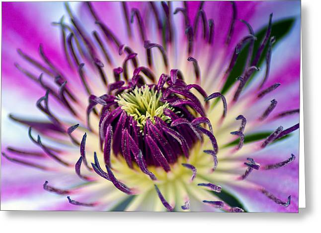 Candy Stripe Clematis Greeting Card