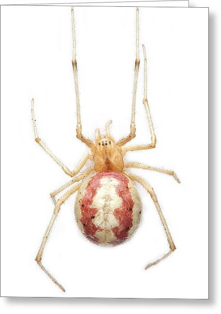 Candy Stripe Spider Greeting Card by Natural History Museum, London