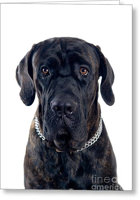 Cane-corso Dog Portrait Greeting Card by Viktor Pravdica