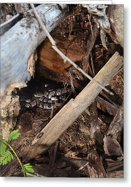 Canebrake Rattlesnakes Greeting Card