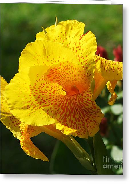 Canna Beauty Greeting Card