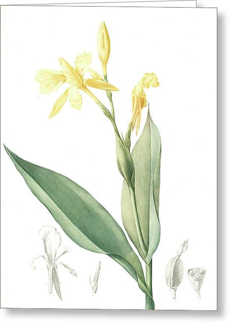 Canna Flaccida, Balisier Flasque, Golden Canna Bandana Greeting Card by Artokoloro