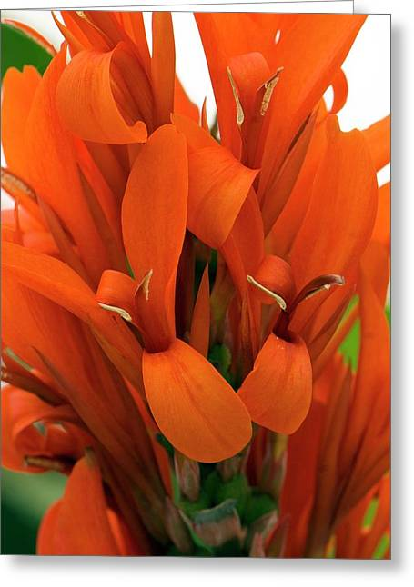 Canna Indica 'city Of Portland' Greeting Card by Adrian Thomas