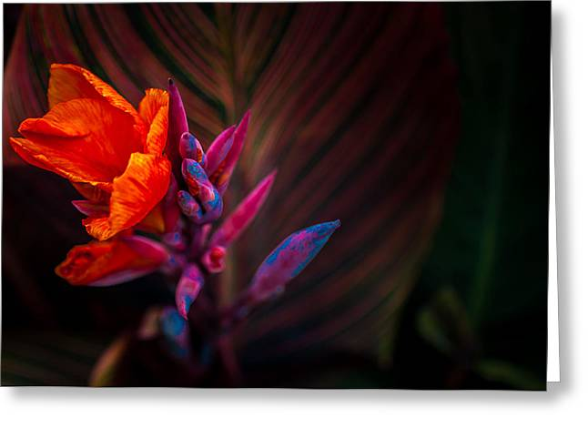 Canna Lilly At Freimann Square Greeting Card by Gene Sherrill
