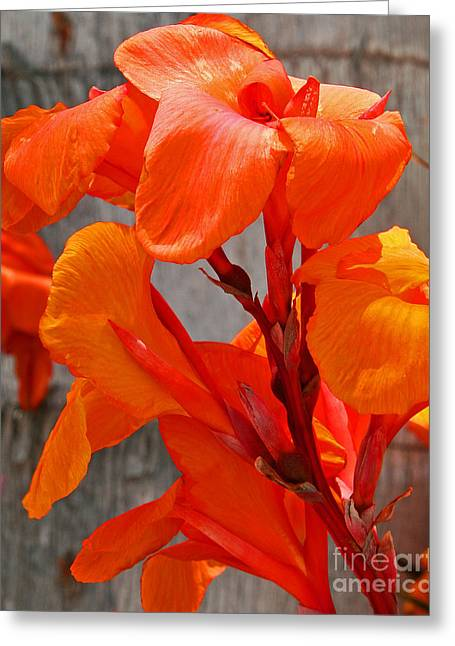 Canna Lilly Up Close Greeting Card by Kenny Bosak