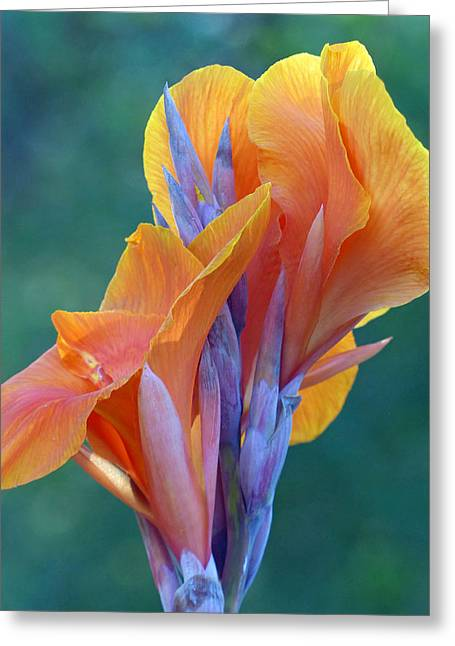 Canna Lily Greeting Card by Cindy McDaniel