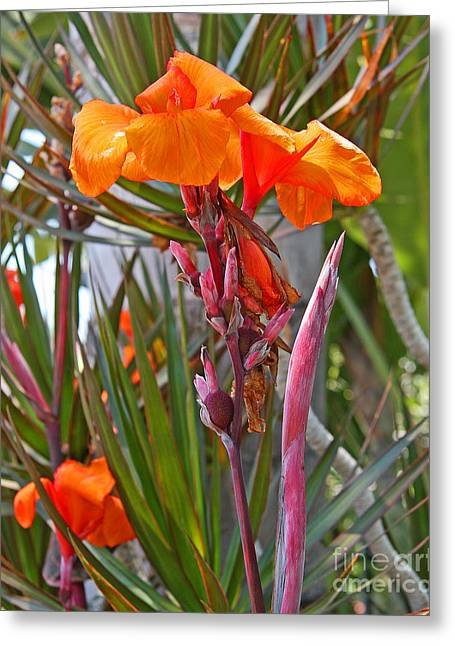 Canna Lily With New Growth Greeting Card by Kenny Bosak