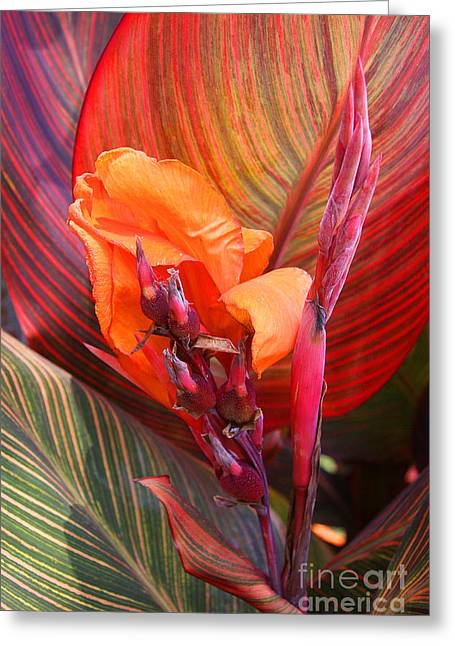 Canna Lily's New Growth Greeting Card by Kenny Bosak