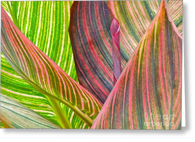 Canna Tropicana Color Greeting Card by Eve Spring