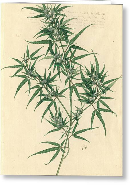 Cannabis Sativa Greeting Card by Natural History Museum, London