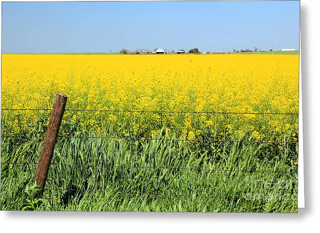 Canola Field Greeting Card by Pattie Calfy