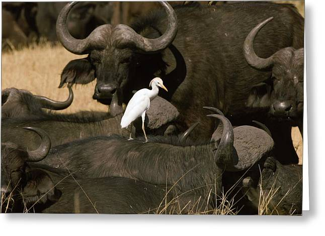 Cape Buffalo And Cattle Egret Greeting Card