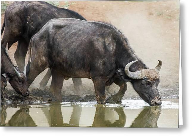 Cape Buffalo Cow Drinking Greeting Card