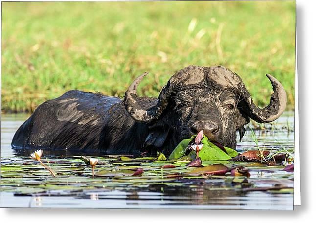 Cape Buffalo Feeding On Water Lilies Greeting Card by Peter Chadwick