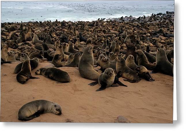Cape Fur Seal (arctocephalus Pusillus) Greeting Card by Photostock-israel