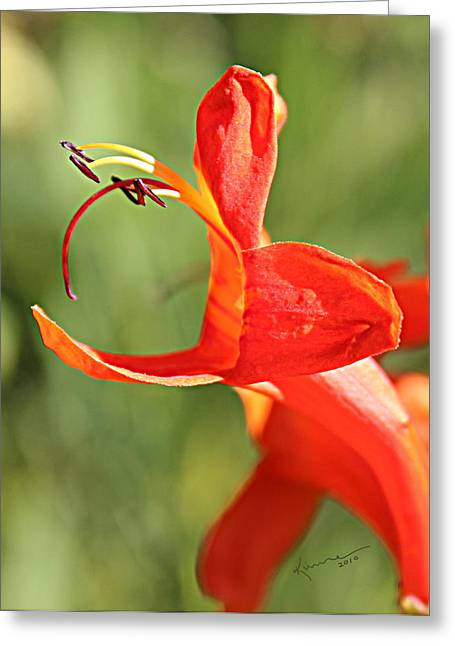 Cape Honeysuckle Greeting Card