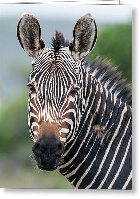 Cape Mountain Zebra Stallion Greeting Card by Peter Chadwick