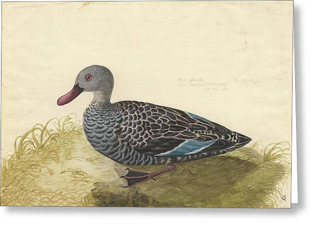 Cape Teal Greeting Card by Natural History Museum, London
