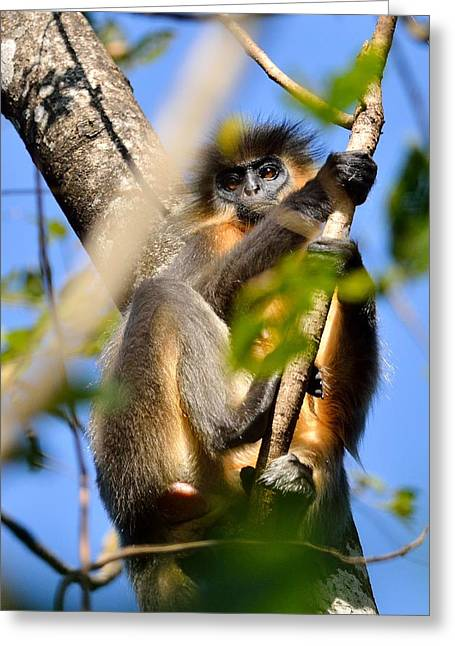 Capped Langur Greeting Card by Fotosas Photography