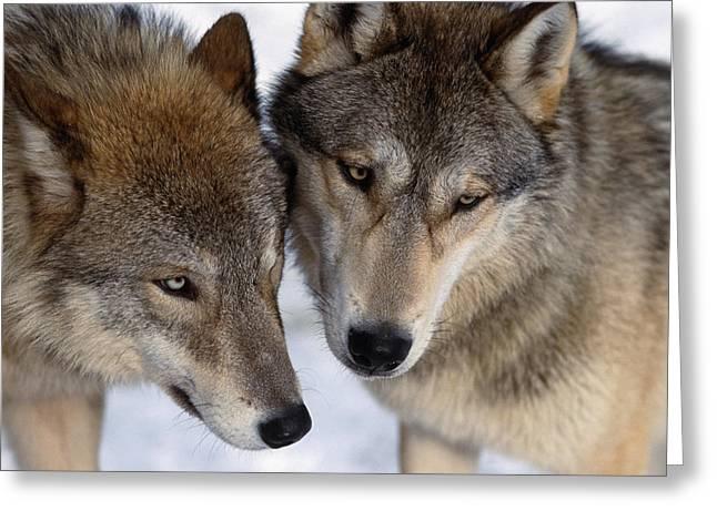 Captive Close Up Wolves Interacting Greeting Card