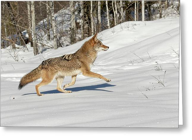 Captive Coyote Running On Snow, Montana Greeting Card
