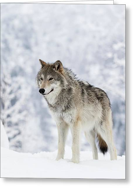 Captive  Female Tundra Wolf In Snow Greeting Card by Doug Lindstrand