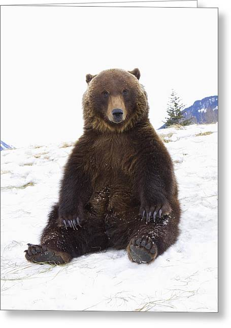 Captive Grizzly During Winter Sits Greeting Card by Doug Lindstrand