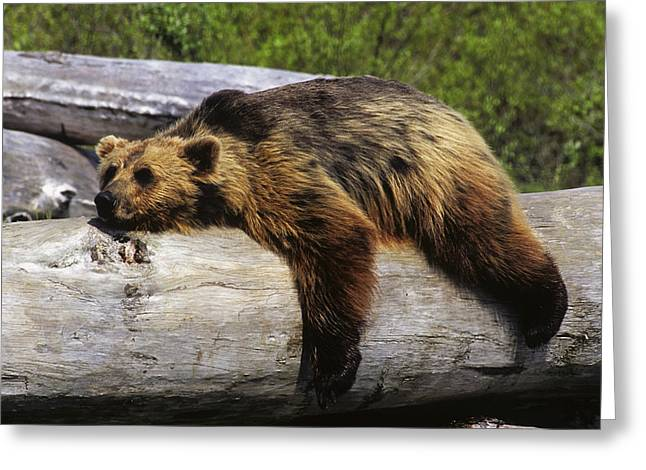 Captive Grizzly Lays On A Log Greeting Card by Doug Lindstrand