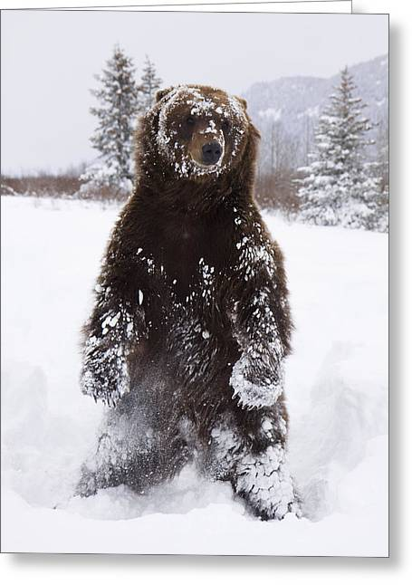 Captive Grizzly Stands On Hind Feet Greeting Card by Doug Lindstrand