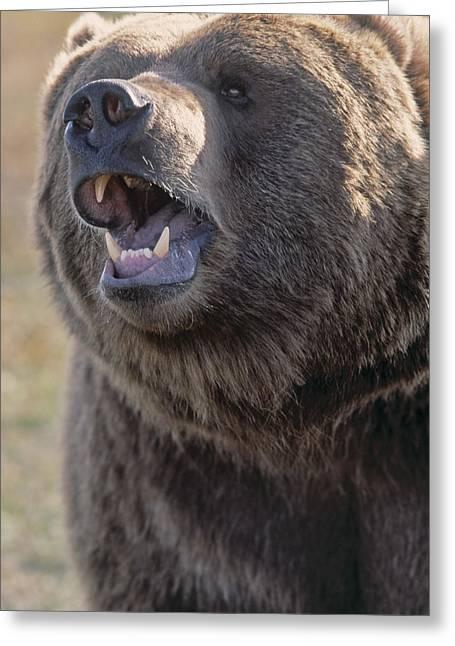 Captive Kodiak Grizzly Bear Greeting Card by Darwin Wiggett