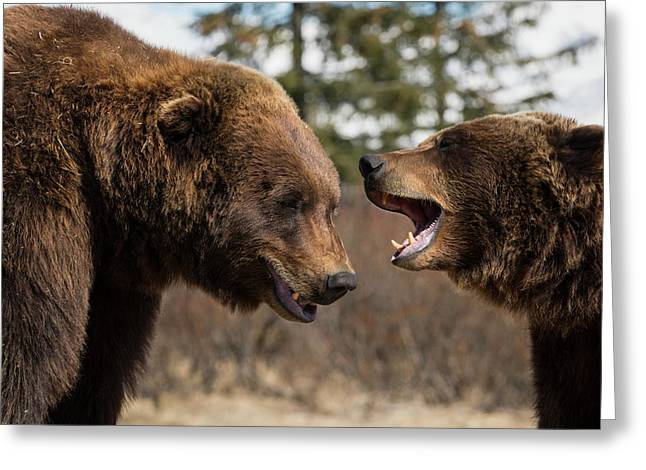 Captive  Male And Female Brown Bears Greeting Card by Doug Lindstrand